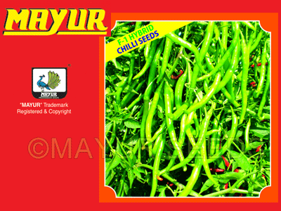 MAYUR-1109 Chilli Seeds