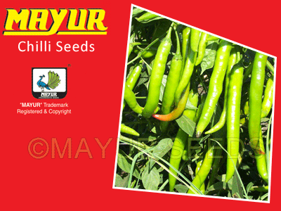 MAYUR-1303 Chilli Seeds