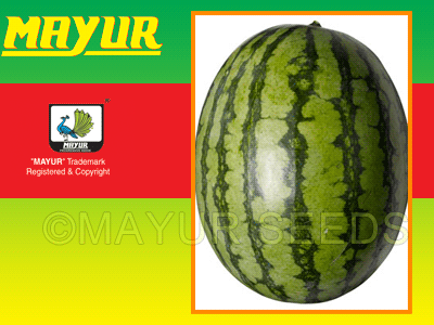 Mayur-31 Watermelon Seeds