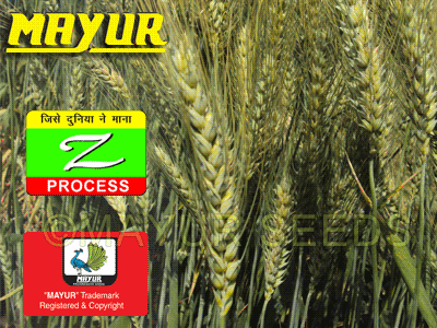 Wheat seeds LOK-1, HI-8498, HI-1418, WH-147