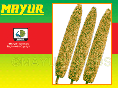 Mayur Early Bajra seeds